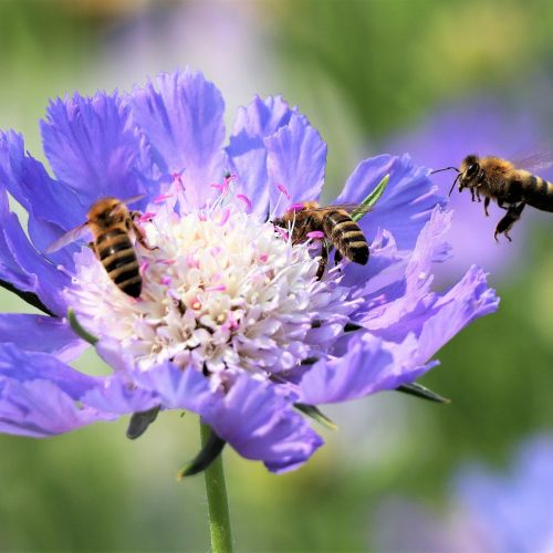 abeilles pixabay René Schaubhut -4335546_1920
