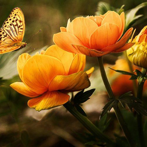 papillon pixabay Larisa Koshkina-19830_1920